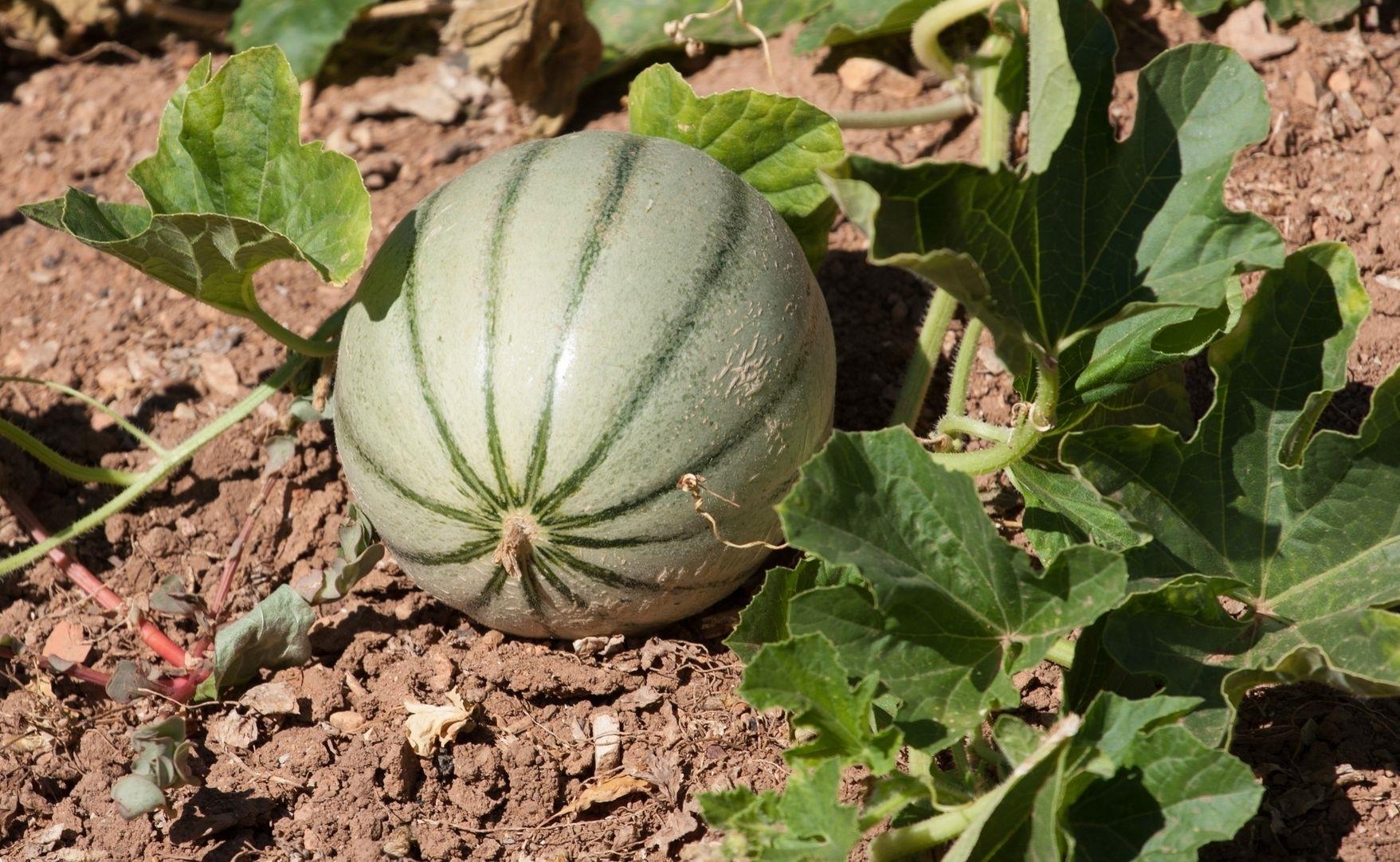 coltivazione melone ortaggi