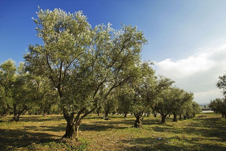 coltivare olivo