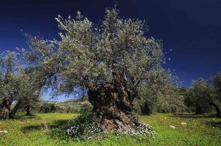 pianta olivo secolare