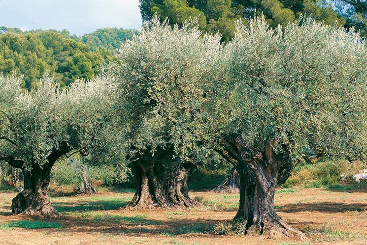 olivo piante