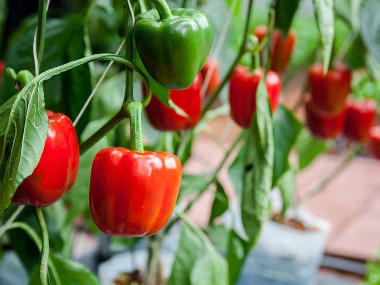 peperoni coltivazione