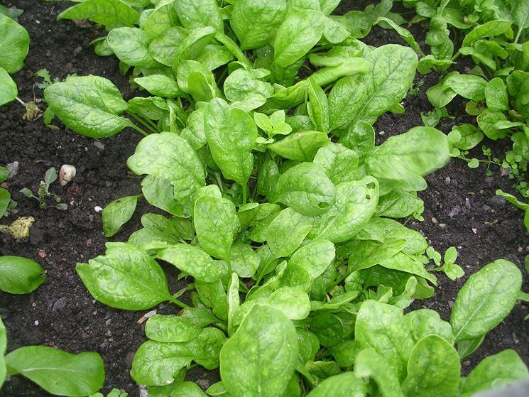 spinaci come coltivare