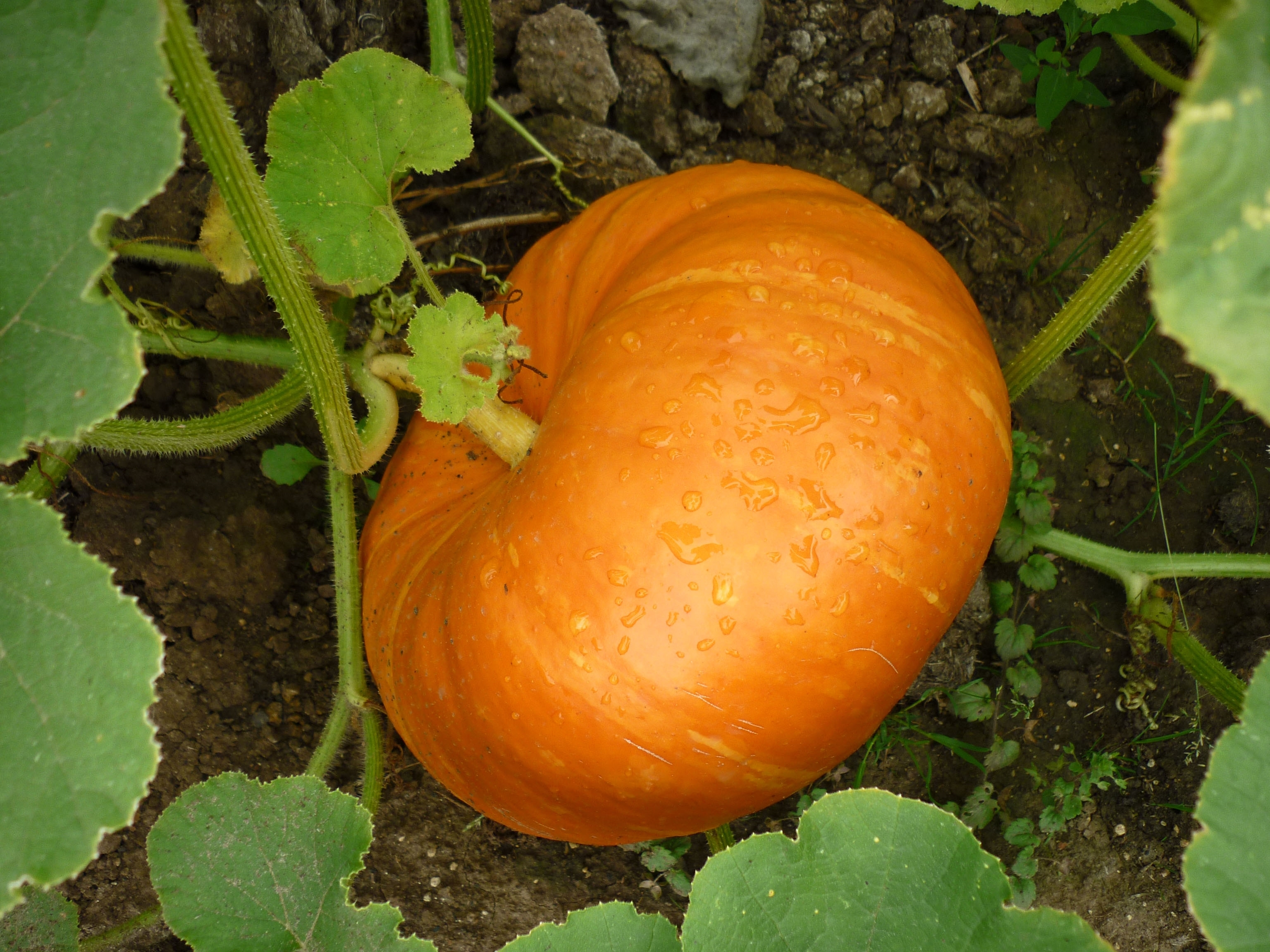 coltivazione zucca