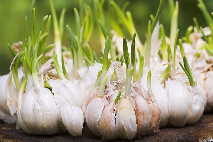 Bulbi d'aglio