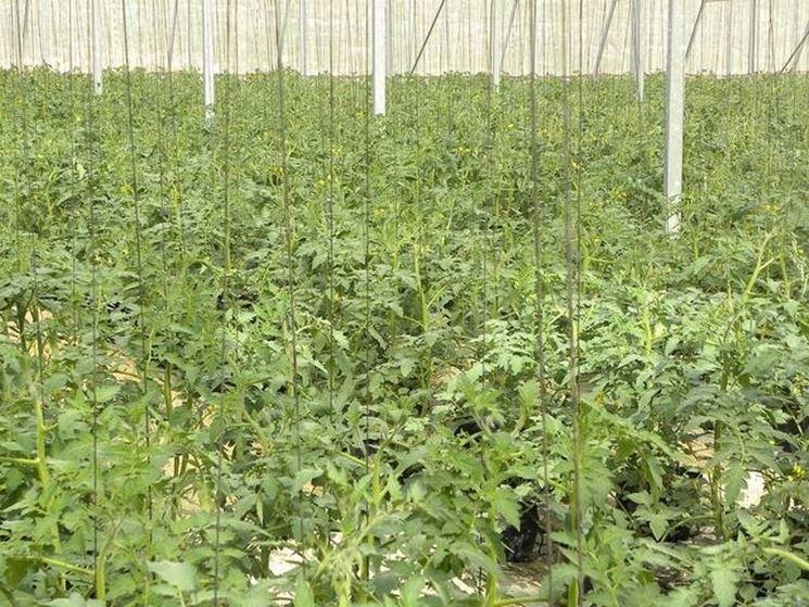 coltivazione di pomodori