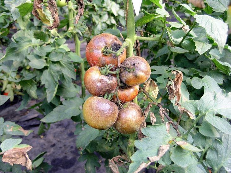 Muffa del pomodoro