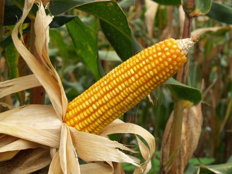 Coltivazione del granoturco