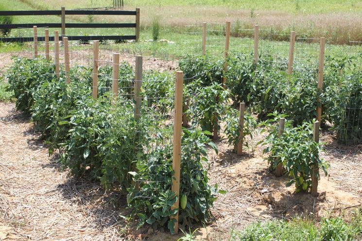 Pacciamatura pomodori