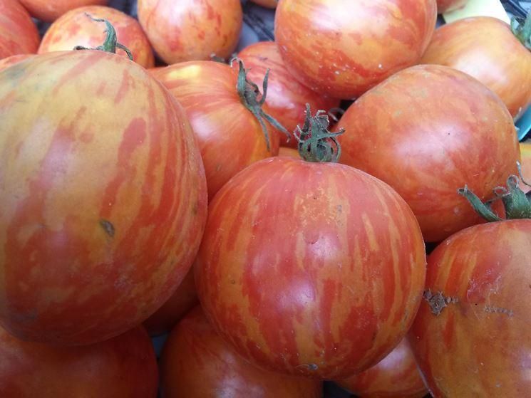 pomodoro zebra rosso