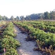 Semina e coltivazione delle patate