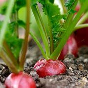 Ravanello semina