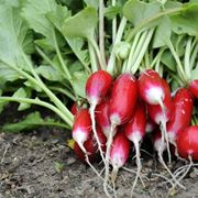 coltivare ravanelli