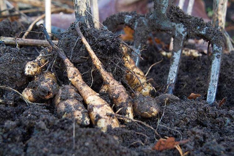 coltivare topinambur