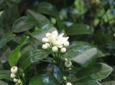 Agrumi fiori