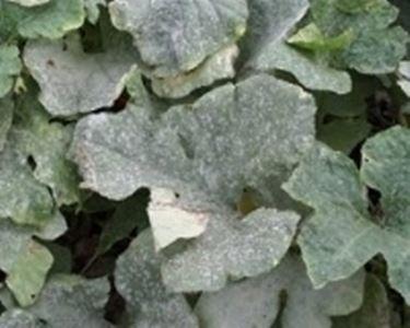 Albero di limone con foglie malate domande e risposte - Malattie limone fumaggine ...