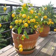 limone fiori