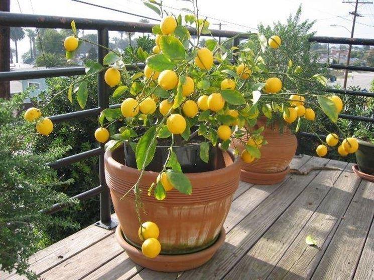 Avere cura della pianta di limone domande e risposte for Pianta kiwi prezzo