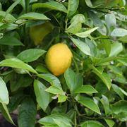 pianta limone 4 stagioni
