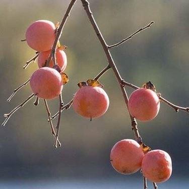frutto caco