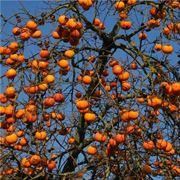 loto frutto