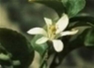 Fiore di agrume