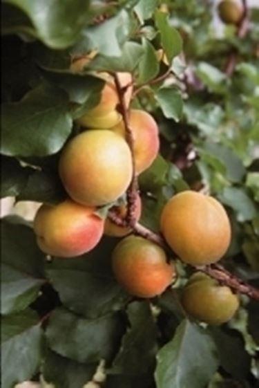 caduta frutti prematura - Domande e Risposte Orto e Frutta