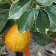 piante di limone
