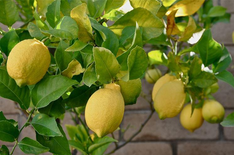 Concime per limoni domande e risposte orto e frutta for Limoni in vaso