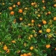 concimazione agrumi