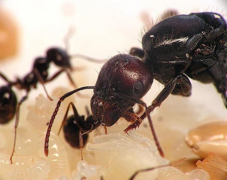 formiche testa rossa