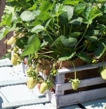 Fragole in vaso domande e risposte orto e frutta for Fragole piante in vaso