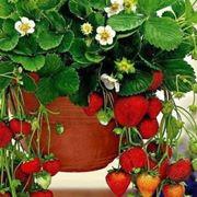 vasi per fragole