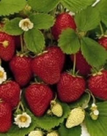 Fragoline di bosco domande e risposte giardino for Pianta fragole