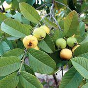 guava frutto