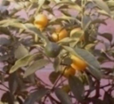Innesti domande e risposte orto e frutta for Potatura limone periodo