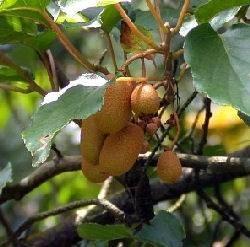 Kiwi che non fanno frutti domande e risposte orto e frutta for Piante da frutto kiwi