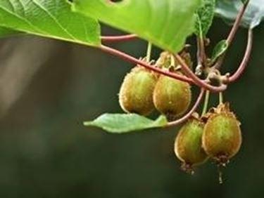 Kiwi e uva fragola domande e risposte orto e frutta for Albero di kiwi