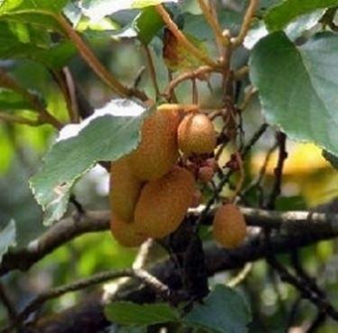 Kiwi maturi