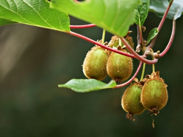 Maschi e femmine kiwi domande e risposte orto e frutta for Kiwi pianta