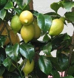 Limone senza foglie domande e risposte orto e frutta for Pianta limone 4 stagioni