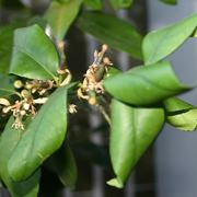 malattie limone foglie accartocciate