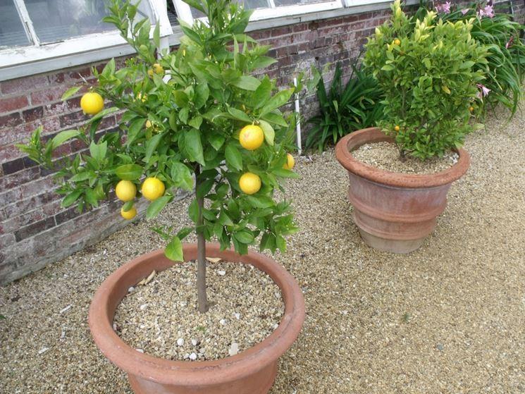 Risposta limone sul terrazzo