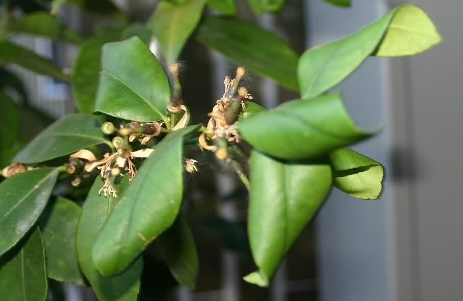Limone sul terrazzo foglie accartocciate domande e for Malattie del limone