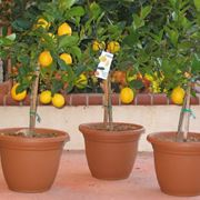 piante limoni