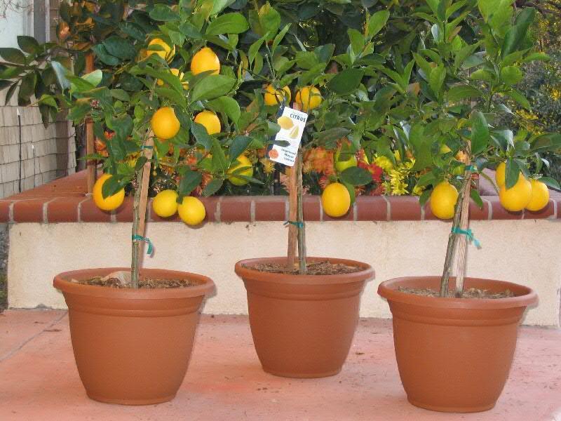 Limoni in vaso domande e risposte orto e frutta for Limoni in vaso