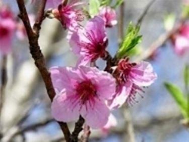 pianta da frutto