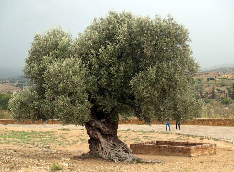 Olivo in giardino domande e risposte orto e frutta for Foto alberi da giardino