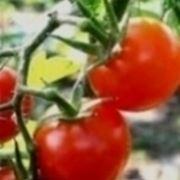 Pomodori maturi