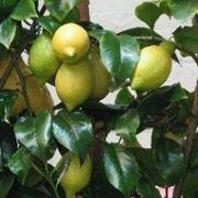 Limoni maturi