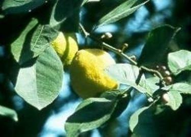 Piante di limone con frutti asciutti domande e risposte for Malattie del limone